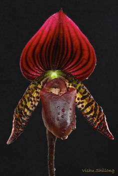 PAPHIOPEDILUM - Lady's Slipper orchid | Flickr - Photo Sharing!