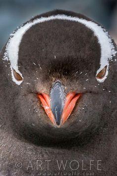 Gentoo penguin, Antarctica - photo by Art Wolfe