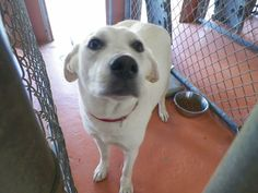 Adopted! Chaser Labrador Retriever/Golden Retriever mix -  LaPorte, TX.