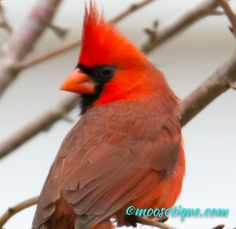 Happy Valentine - Cardinal