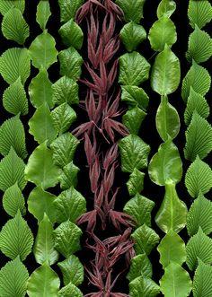54181-01 Viburnum plicatum forma tomentosum 'Shasta', Pyrus calleryana, Hydrangea anomala petiolaris, Acer palmatum | by horticultural art