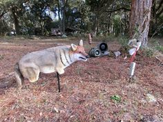 Reviews and Advice: The Best Decoy and Bait for Coyotes