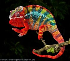 Photographic Print: Panther Chameleon (Furcifer Pardalis), Captive by Michael Kern : Les Reptiles, Reptiles And Amphibians, Mammals, Big Animals, Nature Animals, Animals And Pets, Baby Chameleon, Chameleon Lizard, Beautiful Creatures