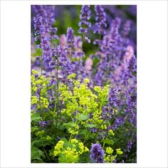 Nepeta and Alchemilla mollis - a stunning combination.  Alchemilla mollis - great for edging / front of border - adding a zingy lemon/lime.