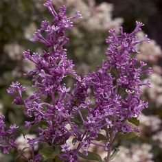 Bloomerang® Dark Purple Lilac blooms
