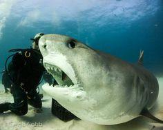 """Tiger shark ; """" I want more fish please """" !"""