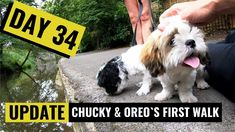 Our Puppies Chucky the Shih tzu and Oreo the Malshi which is a cross breed between a maltese and a shih tzu First ever trip walking, they are only 14 weeks o. Chucky, Maltese, Shih Tzu, Oreo, Walking, Puppies, Dogs, Animals, Cubs