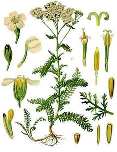 Yarrow - growing, characteristics of different varieties, propagation and care.