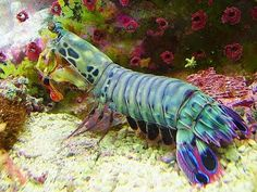 "this "" is a Peacock mantis shrimp. The Odontodactylus scyllarus is a smasher, with club shaped raptorial appendages. An active hunter, it prefers gastropods, crustaceans, and bivalves, and will repeatedly smash its prey until it can gain access to the soft tissue for consumption. It is reported to have a ""punch"" of over 50mph. This is the fastest recorded punch of any living animal."""