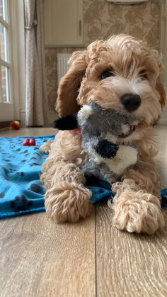 Cute Fluffy Dogs, Cute Little Puppies, Cute Dogs And Puppies, Baby Puppies, Baby Dogs, I Love Dogs, Doggies, Minature Goldendoodle, Cavapoo Puppies