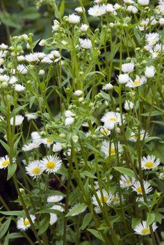 136.Erigeron annuus -  (egynyári seprence) asteraceae