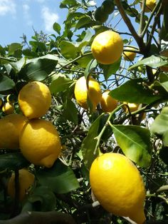 Limoni di primavera