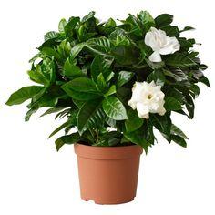 Gardenia Jasminoides Plant - Indoor Plants from MGC Garden Web, Moon Garden, Garden Design, Red Plants, Potted Plants, Indoor Plants, Plant Pots, White Plants, Gardenias