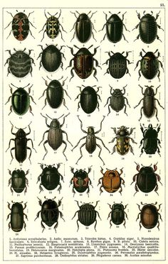 """G.G. Yakobson (1905-1915) - """"Beetles of Russia"""": table 21"""