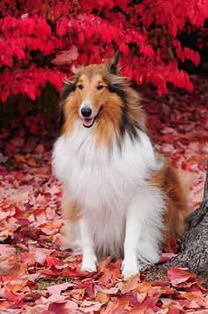 Our Lovely Rough Collie Buddy
