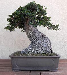 Bonsai                                                       …