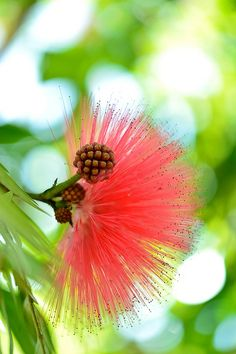 .Calliandra (Powder Puff) We have a bonsai tree of this beautiful blooming tree. The hummingbirds love it!