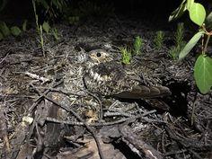"Elly Knightj: ""Nighthawk breeding season is finally in full swing in the #boreal! Most still on eggs, but found first nestlings last night"""