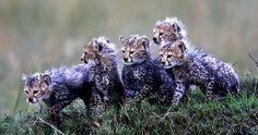 Cheetah cubs by Paul Goldstein (African Cats)