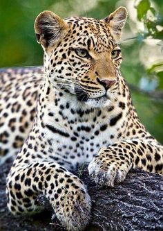 Dashing leopard