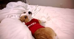 Grumpy Corgi Hates His Christmas Sweater - The BarkPost