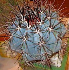 Melocactus sp