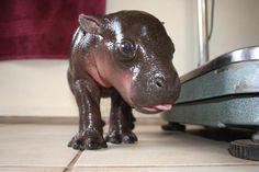 les-bebes-hippopotames-naissent-sous-l-eau.jpg 930×620 pixels