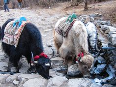 Yaks on the route to Everest Base Camp. Near Tengboche.