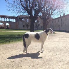 Summer arrives early in #Italy. In castle. #AskAzu #borzoi