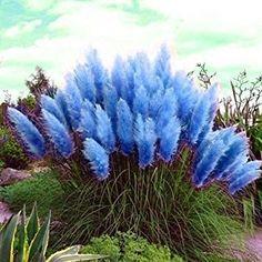 Αποτέλεσμα εικόνας για purple pampas grass