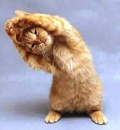 Here are the some Funny Animal Yoga Poses. Animals And Pets, Baby Animals, Funny Animals, Cute Animals, Animals Images, Cute Kittens, Cats And Kittens, Crazy Cat Lady, Crazy Cats