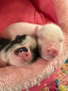 So precious... #Piglets