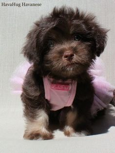 ed2b4f38a571 9 Best My Favorite Dog - The Havanese images