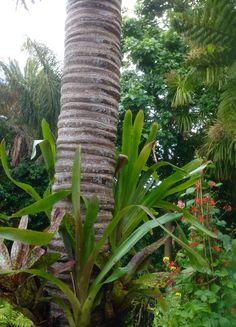 Bromeliads tied into a Nikau Palm trunk.