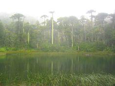 Araucarias-chile Chile, Mountains, Nature, Travel, Woods, Naturaleza, Viajes, Destinations, Traveling