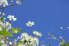 Blue sky with white flowers...