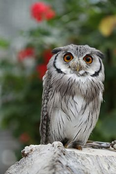 Southern white faced scops owl I like owls too much Beautiful Owl, Animals Beautiful, Owl Bird, Pet Birds, Owl Who, Owl Photos, Owl Always Love You, Wise Owl, All Gods Creatures