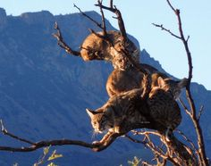 A Tree Full of Bobcats is the Best Hangover Cure
