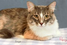 Sage has been adopted! Sweet Sage came to us as a young kitten as part of the group of 20 cats who were rescued by kind ladies when it was suspected that kittens were being snatched and used by neighborhood bad characters as bait training for their dogs. Sage was the shyest of the bunch, but AH volunteer (and previous adopter) Jim was able to get her to relax, fell in love with her, and that was that! She is now at home with her sister Cassia and her loving new mom and dad.