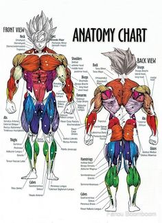 Muscle Chart - Anatomy Diagram For Bodybuilders by Fanou Boomboom