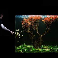 Equilíbrio! Por Manuel Krauß #nature #naturelover#naturelovers #natureza #acquario #aquario #aquariofilia #aquarium #aquarismo #aquatic #fishtank #freshwater #アクアリウム #plant