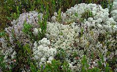 Cladonia arbuscula – Wikipedia