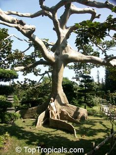 Kapok Tree, Silk Cotton Tree - A majestic tropical tree. The ancient Maya of Central America believed that a great Ceiba tree stood at the center of the earth. Large size tree, requires space.