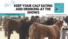 Does your calf refuse to eat or drink? Hauling your calf to shows can cause it to go off food or water. These tips will keep your calf eating and drinking. Cattle Barn, Show Cattle, Beef Cattle, Cattle Ranch, Cow Digestive System, Show Cows, Show Steers, Teacup Pigs, Teacup Chihuahua