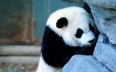 超萌国宝大熊猫高清壁纸  #优质# #动物# #高清# #萌货大集合#