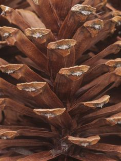 pine cone close up, warm brown color