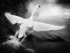 Swan Bird Black and White Photography by AdamClarkPhotography, £15.00