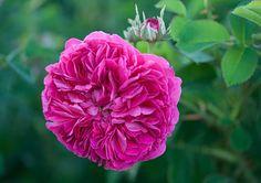 'Duc de Cambridge'  Damask rose Laffay, 1841 simolanrosario.com