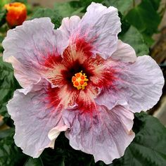 Hidden Valley Hibiscus - Hibiscus 'Fire and Ice' Wonderful Flowers, Rare Flowers, Exotic Flowers, Beautiful Flowers, Purple Flowers, Tropical Plants, Tropical Flowers, Tropical Garden, Hawaiian Flowers