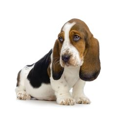 Ears an idea...adopt a basset hound from Belly Rubs Basset Hound Rescue
